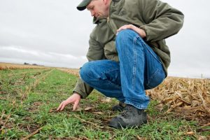 Dean Sponheim Inspects Cover Crops