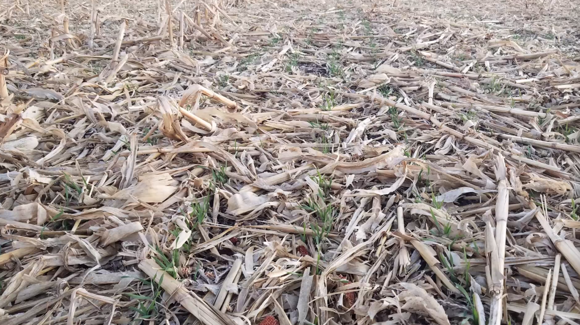 Cereal rye seeded into corn stalks