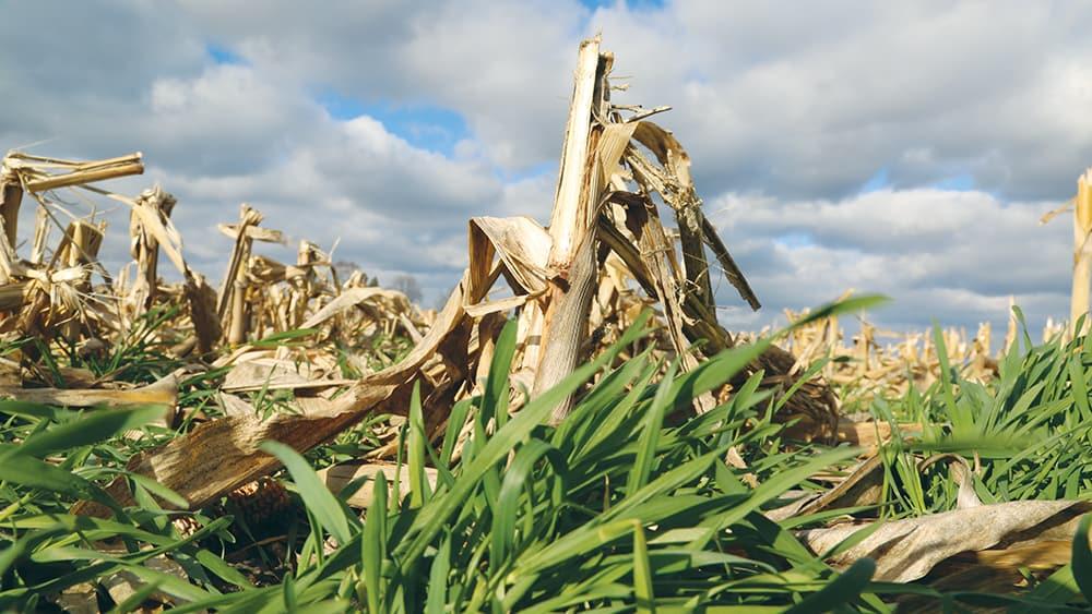 Image of cover crops by Joe Murphy of Iowa Soybean Association