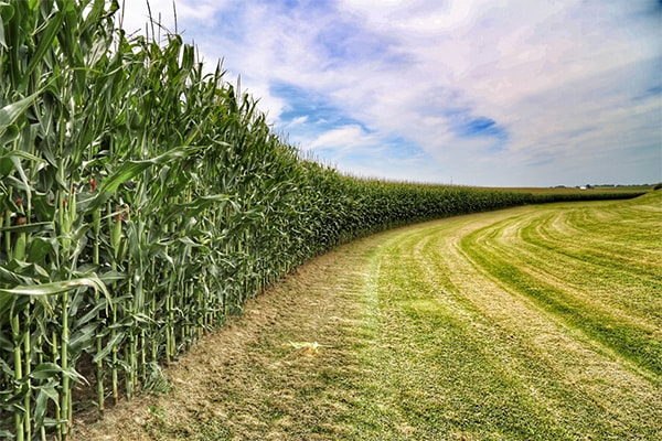 Corn field to the left, blue sky above